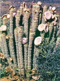 South African Hoodia Gordonii Pure Kalahari Hoodia For Weight Loss